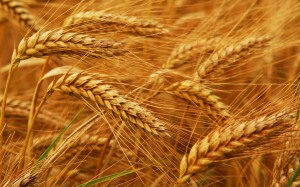 wheat-procurement
