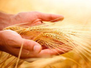 wheat1009